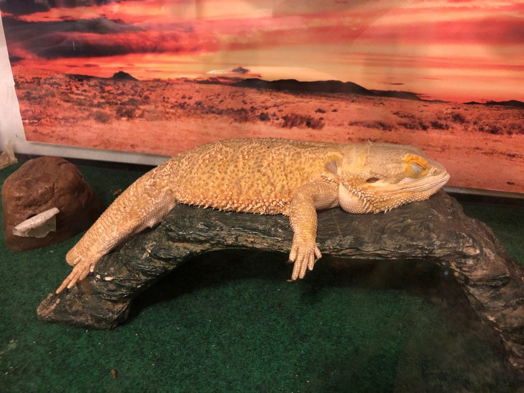 Bearded Dragon laying on rock