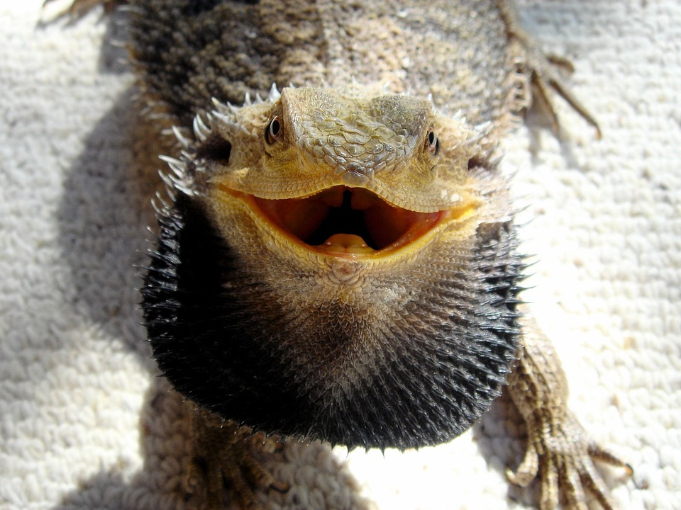 Bearded Dragon Smiling Looking Up