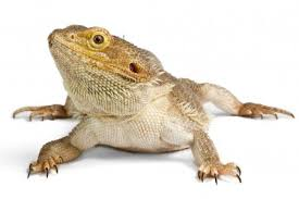 bearded dragon eating grapes
