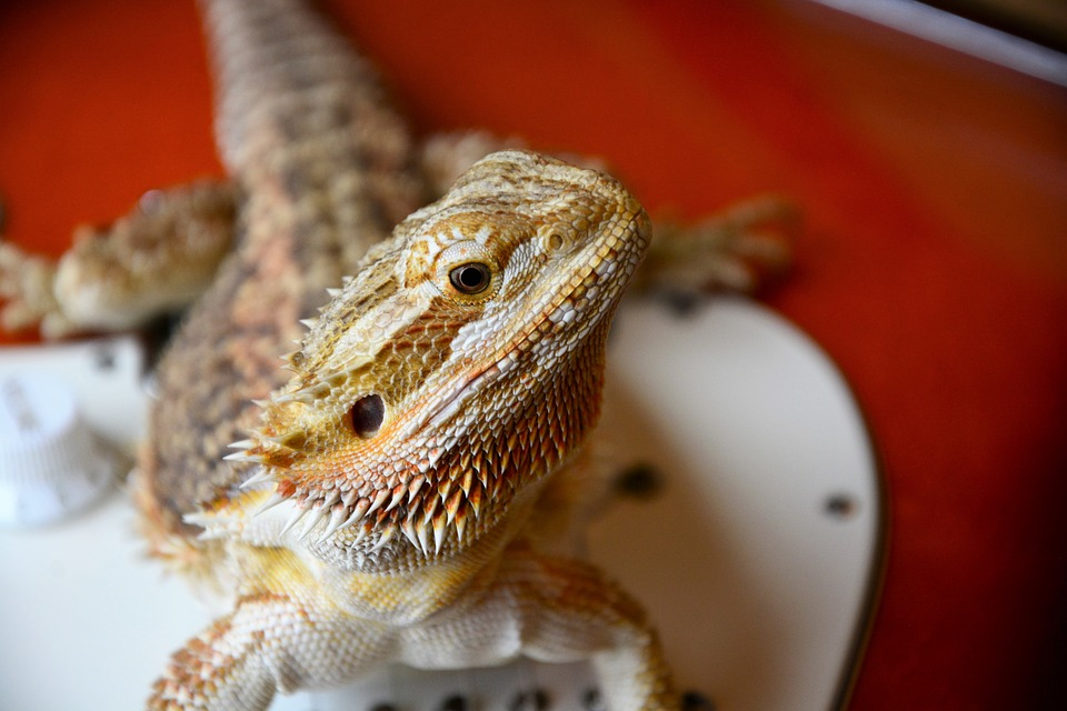 Bearded Dragon Red Background