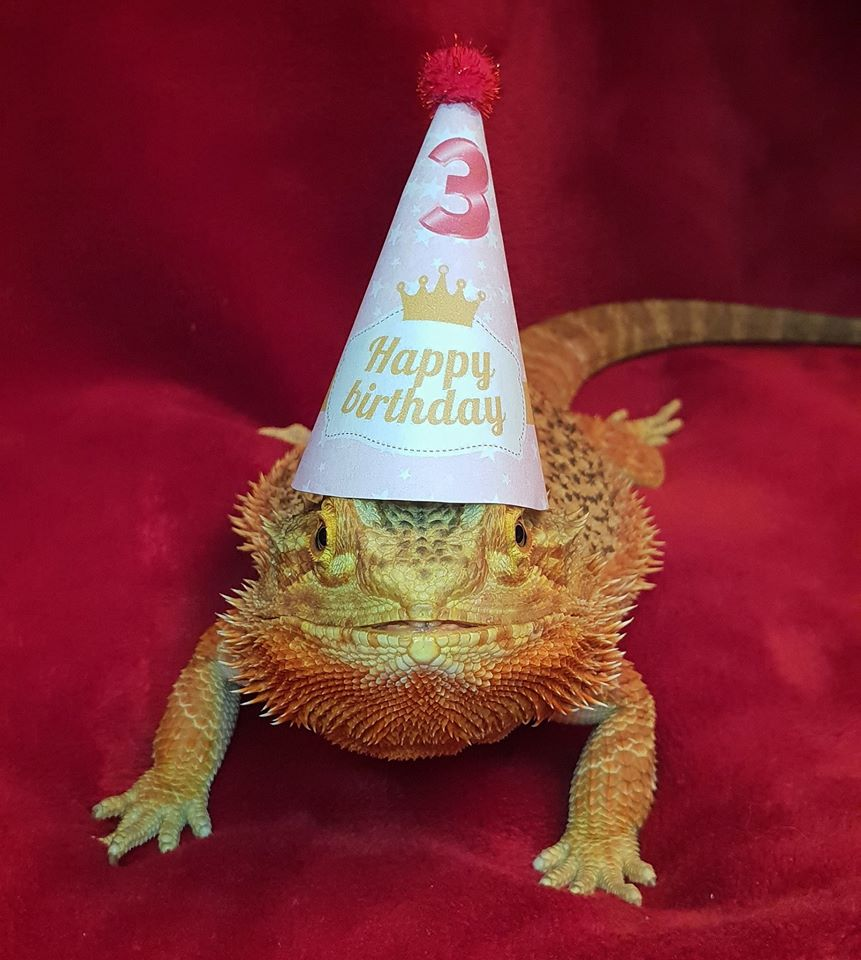 Bearded Dragon in a happy birthday hat